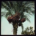 Trees and shrubs. Date palms, close-up showing dates LOC matpc.14959.jpg