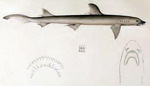 Zeichnung aus der Erstbeschreibung, Gesamtansicht und Bezahnung.