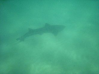Leopard shark - The leopard shark is often found over sandy flats.