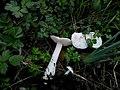 Tricholomella constricta 585363.jpg