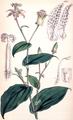 Tricyrtis maculata CBM.png