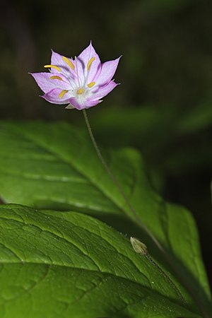 Herbaceous plant - Trientalis latifolia (Broadleaf Starflower) is a perennial herbaceous plant of the ground layer of forests in western North America.