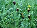 Trifolium spadiceum Musta-apila HP1564 C.JPG