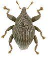 Trigonopterus kurulu holotype - ZooKeys-280-001-g045.jpg