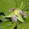 Trillium tschonoskii (fruits s2).jpg