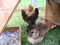 Trio of hens 2.JPG