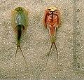 Triops-longicaudatus-dorsal-ventral-edit.jpg