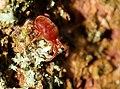 Trombidium holosericeum 2 Luc Viatour.jpg