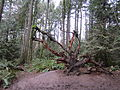Tryon Creek State Natural Area, tree roots.JPG