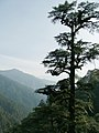 Tsuga dumosa Bhutan.jpg