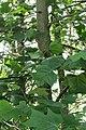 Tulip Tree 2020-06-16 045.jpg