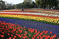 Tulip in Kiso Sansen National Government Park.jpg