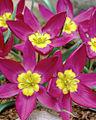 Tulipa humilis Odalisque 22972 20138 1280 1280.jpg