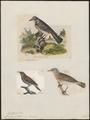 Turdus pilaris - 1700-1880 - Print - Iconographia Zoologica - Special Collections University of Amsterdam - UBA01 IZ16300209.tif