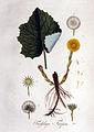 Tussilago farfara — Flora Batava — Volume v1.jpg