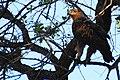 Twany eagle in Savuti - Botswana - panoramio.jpg
