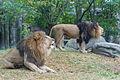 Two Lions Roaring (20842583564).jpg