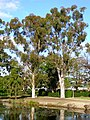Two Sugar Gums growing next to the Wollundry Lagoon in the Victory Memorial Gardens.jpg