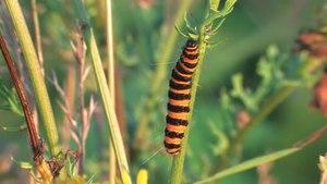 File:Tyria jacobaeae - larvae 2012-07-12.ogv