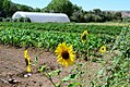 USDA New Mexico high hoop farm with sun flowers.jpg