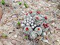 Uinta Basin Hookless Cactus (Sclerocatus wetlandicus) (16795787698).jpg