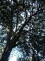 Una alzina als jardins de Can Sentmenat P1510551.jpg