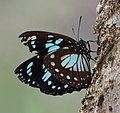 Unbekannter Schmetterling im Udzungwa NP.jpg