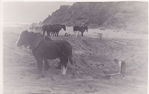 Aire River (Victoria) - Horse teams used in 1948 to unblock the river mouth to prevent salt water being deposited on the arable river flats