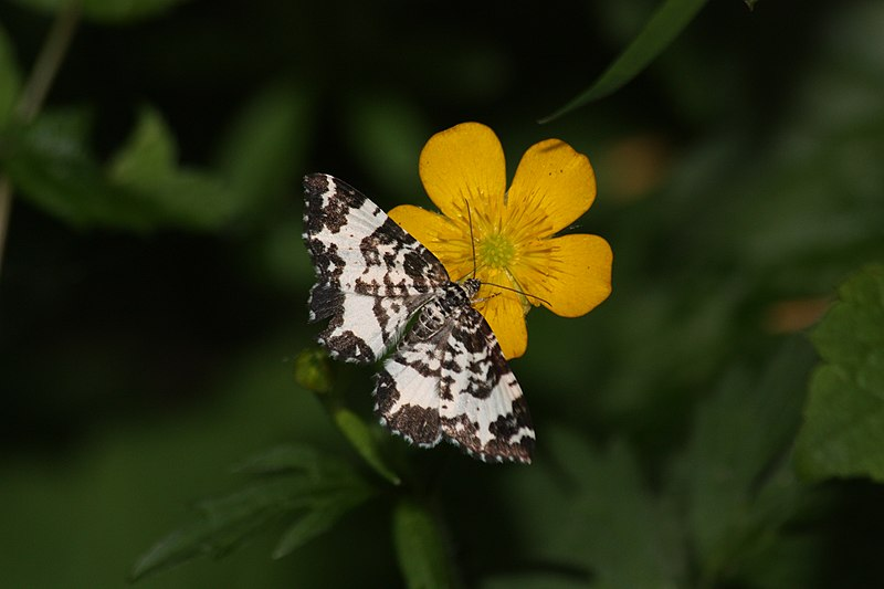 File:Unidentified Lepidoptera 0356.JPG