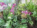 United States Botanic Garden orchids - Washington, D.C. 2012.JPG