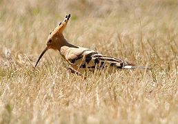 Huppe fasci e wikip dia for Houpette oiseau