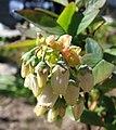 Vaccinium corymbosum Blüten.jpg