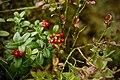 Vaccinium vitis-idaea Norra Kvill.jpg