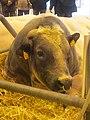 Vache bleue du Nord SDA.jpg