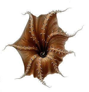 Vampire squid - Oral view