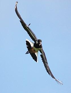 Vanellus Vanellus Haukipudas 20110625b.JPG