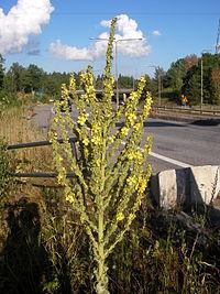 Verbascum speciosum