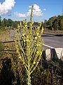 Verbascum speciosum.jpg