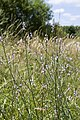 Verbena officinalis sabliere-morriere-plailly 60 30062008 1.jpg