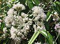 Vernonia elaeagnifolia flowers Kewarra 4799.jpg