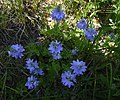 Veronica wild flower in Catalonia.jpg