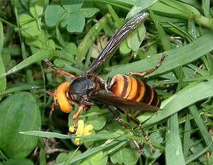 Asian giant hornet - The Asian giant hornet