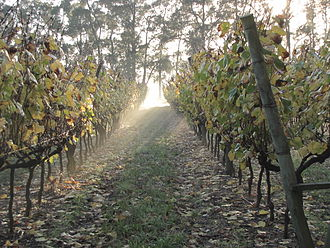 Vineyard in Uruguay Vina en Otono.jpg
