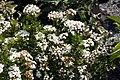Viburnum Reiflers Dwarf 1zz.jpg