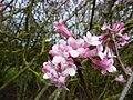 Viburnum grandiflorum (Caprifoliaceae) (flower).jpg