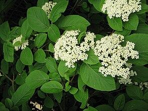 Wolliger Schneeball (Viburnum lantana), Blüten