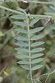 Vicia cracca leaf, vogelwikke blad (1), Lunteren.jpg