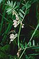 Vicia pannonica eF.jpg
