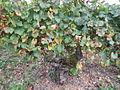 Vigne Louis Pasteur 016.JPG