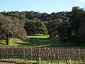 Vignes en taille Guyot à Santa Barbara.jpg